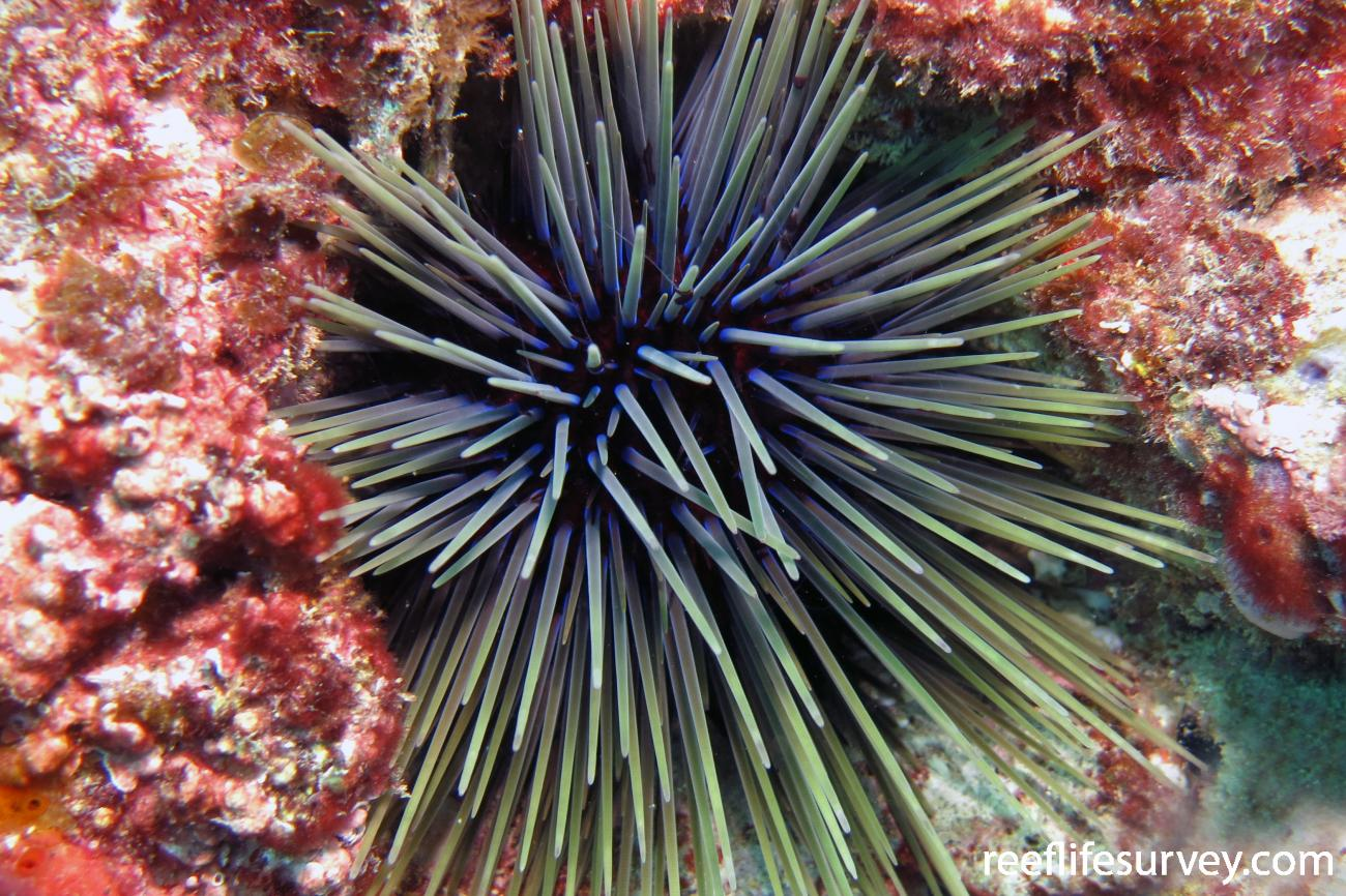 Centrostephanus tenuispinus, Rottnest island, WA,  Photo: Antonia Cooper