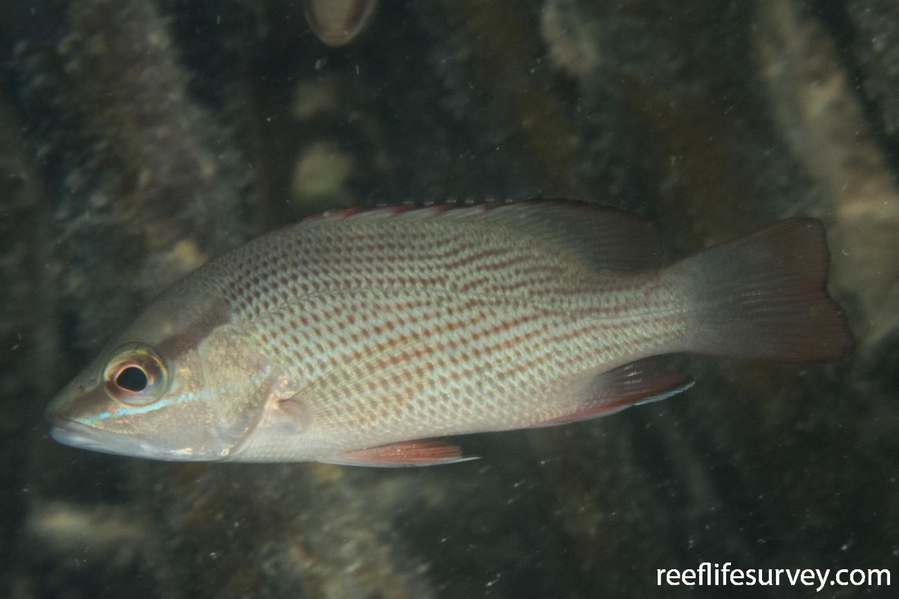 Lutjanus griseus, Juvenile, Belize,  Photo: Rick Stuart-Smith