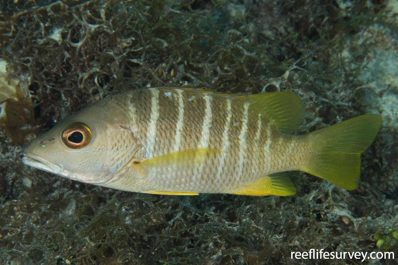 Lutjanus apodus, Juvenile, Belize,  Photo: Rick Stuart-Smith