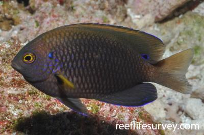 Pomacentrus vaiuli: Adult.  Photo: Rick Stuart-Smith