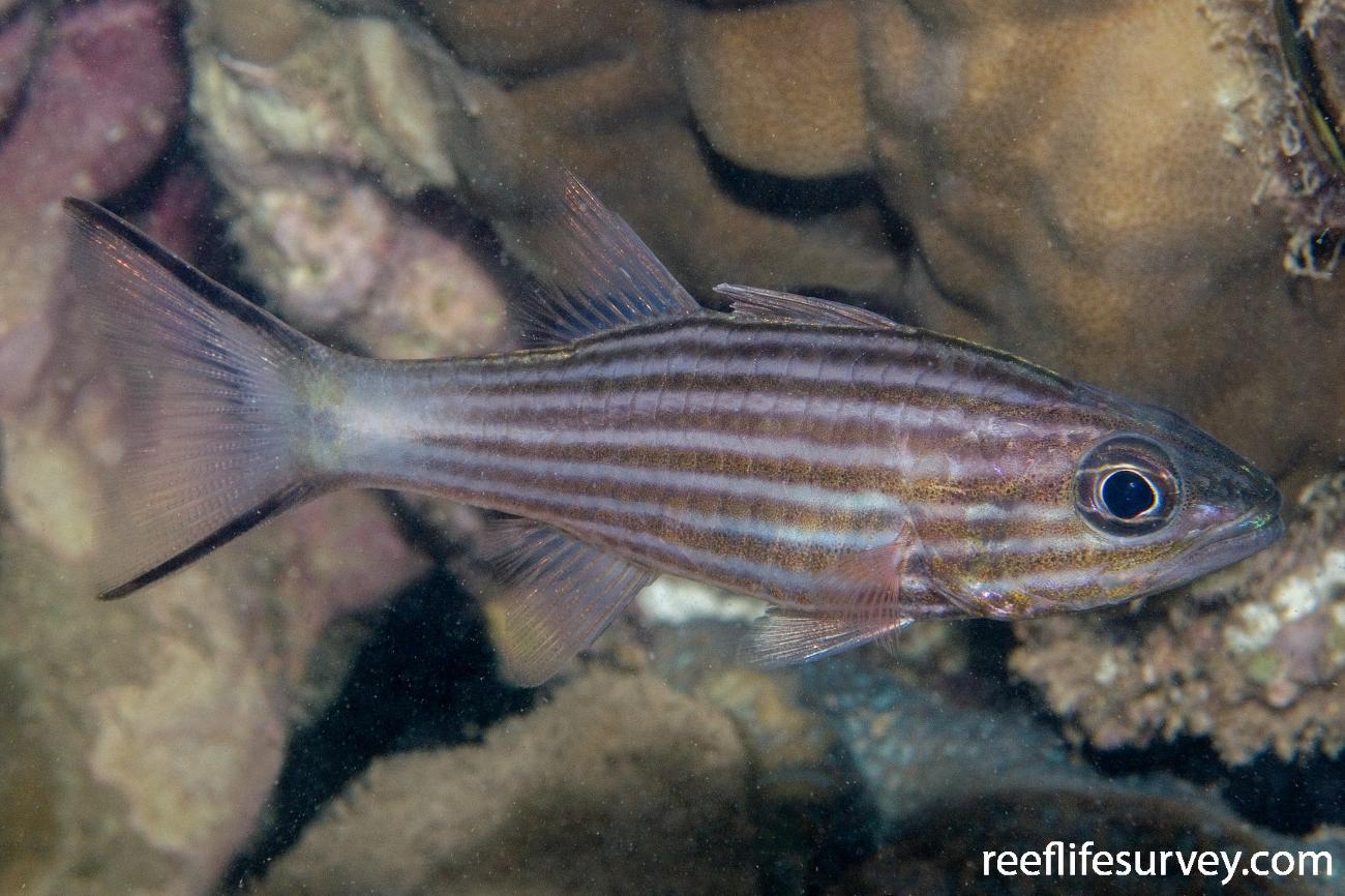 Cheilodipterus macrodon, Adult, North WA, Australia,  Photo: Andrew Green