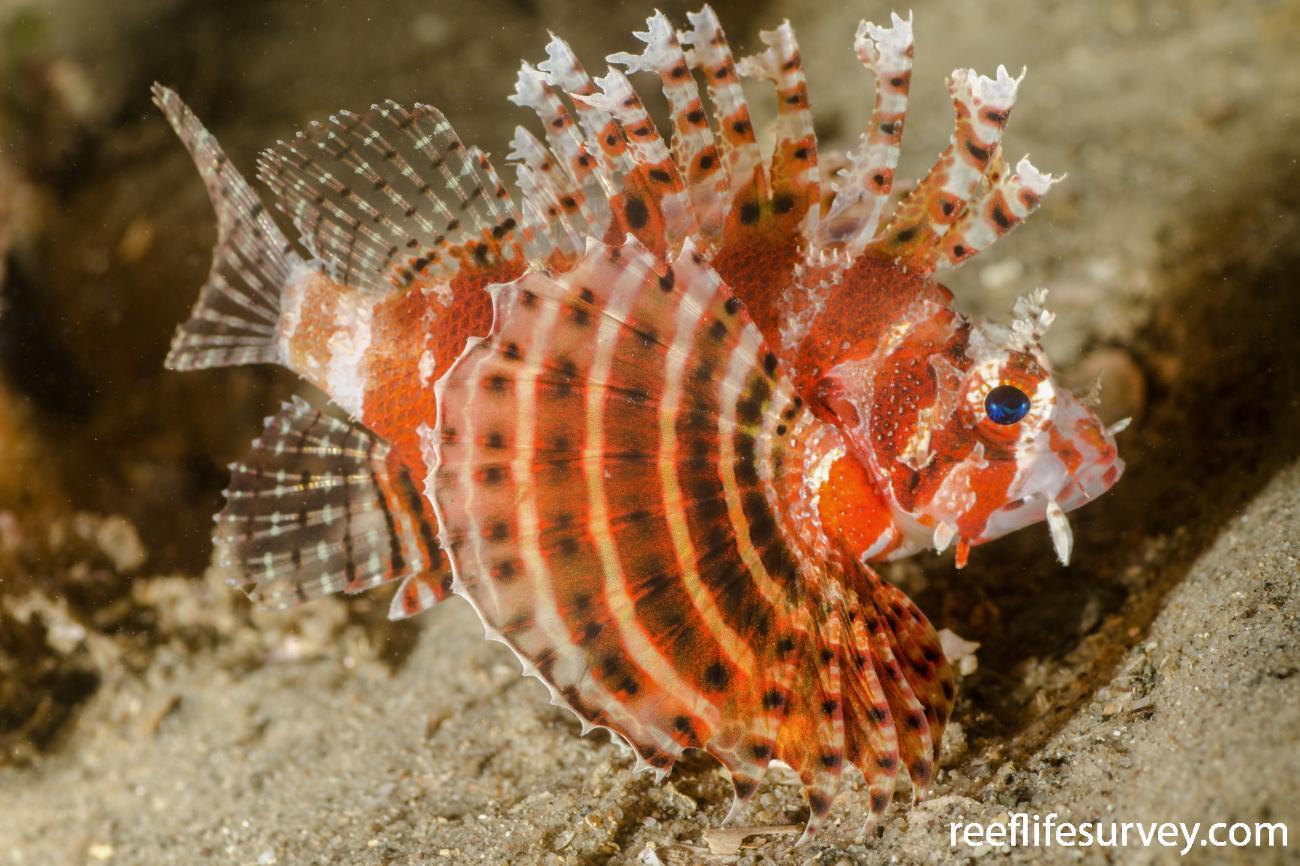 Dendrochirus brachypterus, Port Stephens, New South Wales , Australia,  Photo: Ian Shaw