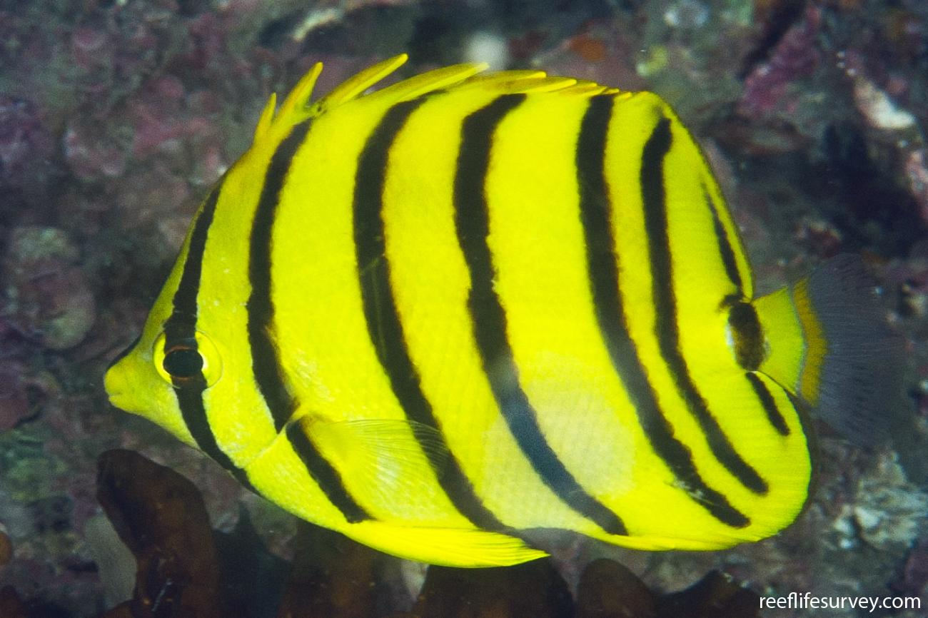 Chaetodon octofasciatus, Adult, Sulawesi, Indonesia,  Photo: Ian Shaw