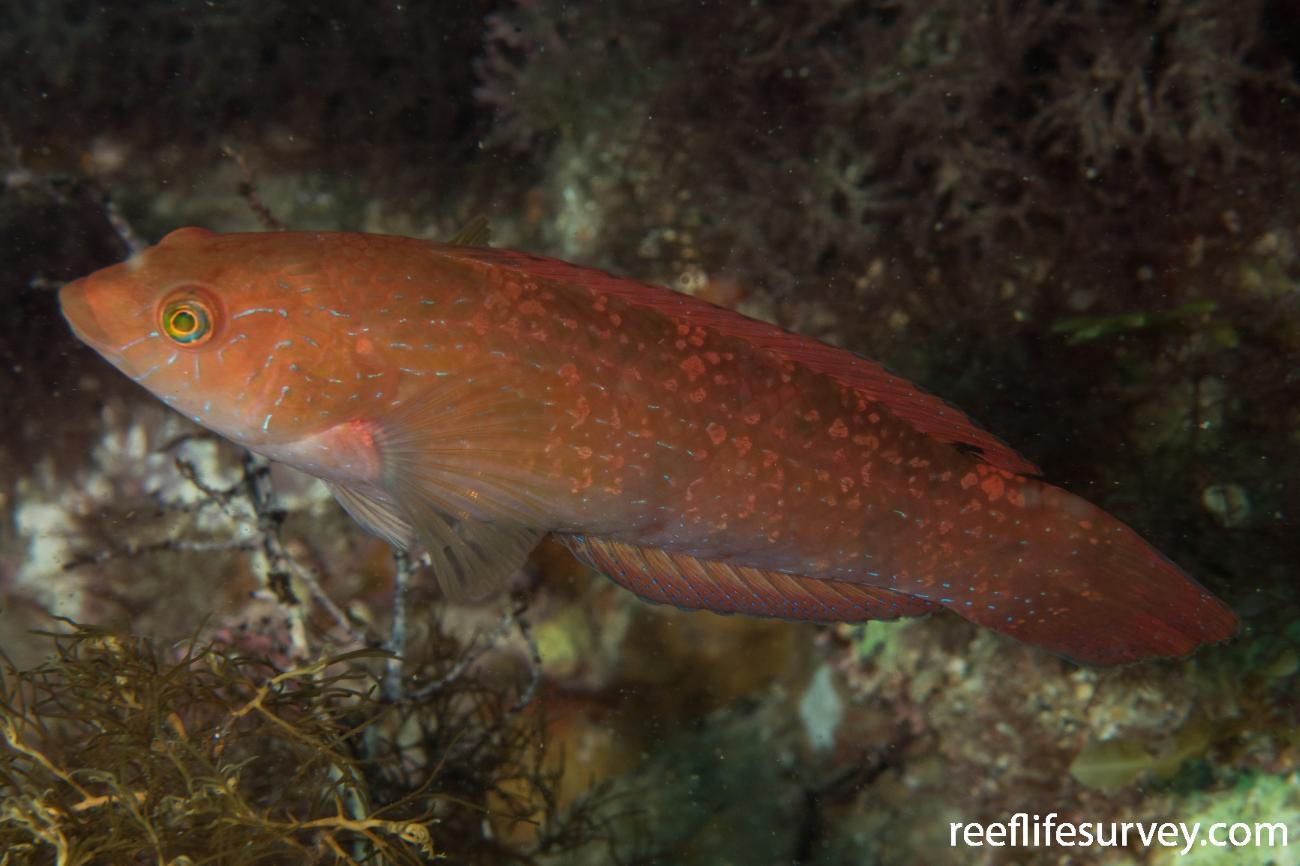 Pictilabrus laticlavius, Female, Rocky Cape, TAS,  Photo: Rick Stuart-Smith