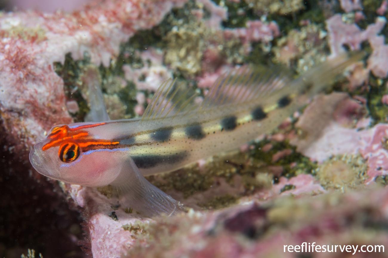 Elacatinus puncticulatus, Nicaragua,  Photo: Rick Stuart-Smith