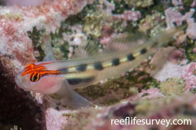 Elacatinus puncticulatus: Nicaragua,  Photo: Rick Stuart-Smith