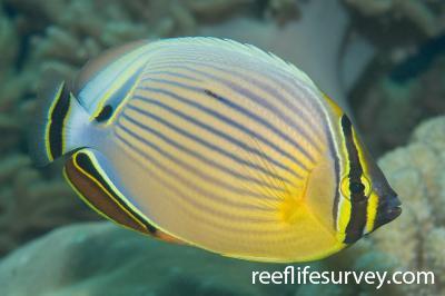 Chaetodon lunulatus: Adult, Great Barrier Reef, Cairns, Australia,  Photo: Andrew Green