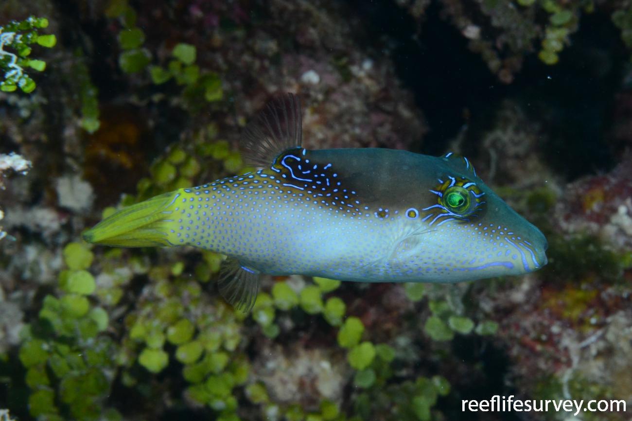 Canthigaster epilampra, Adult, Coral Sea,