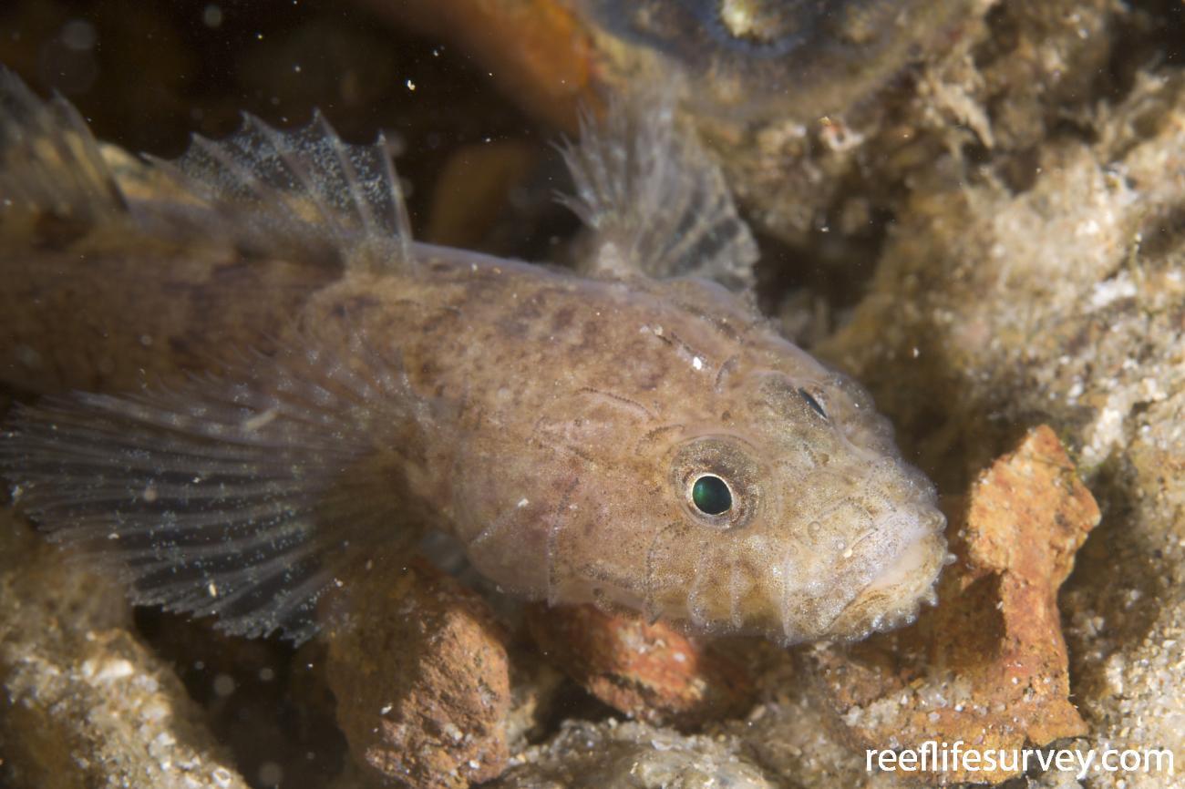 Callogobius depressus, Narooma, NSW,  Photo: Andrew Green