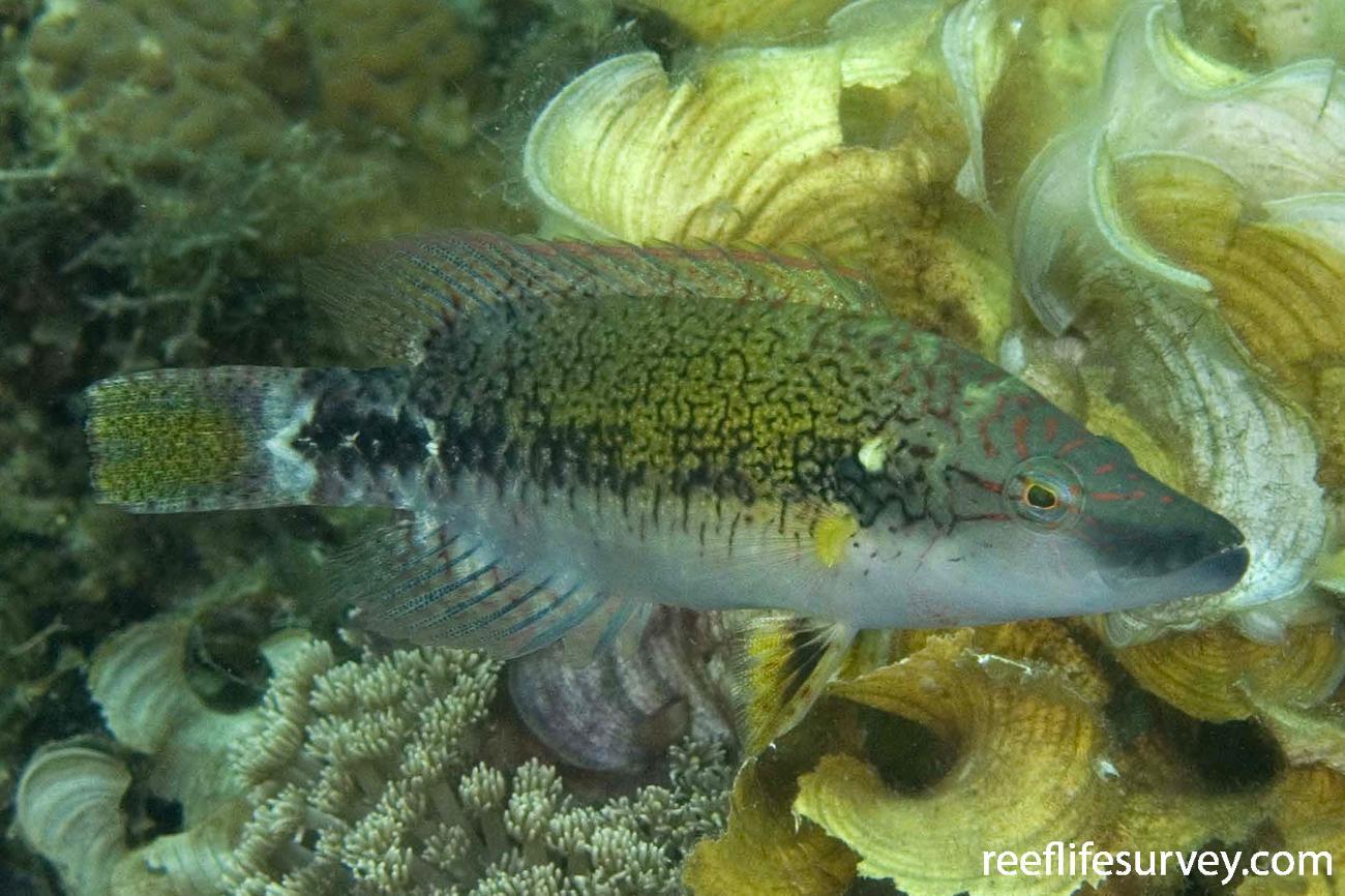 Oxycheilinus celebicus, Raja Ampat, Indonesia,  Photo: Andrew Green