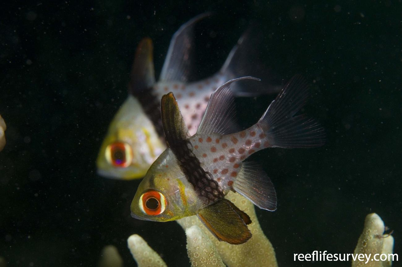 Sphaeramia nematoptera, Raja Ampat, Indonesia,  Photo: Andrew Green