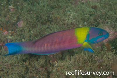 Thalassoma lucasanum: Male, Nicaragua,  Photo: Rick Stuart-Smith