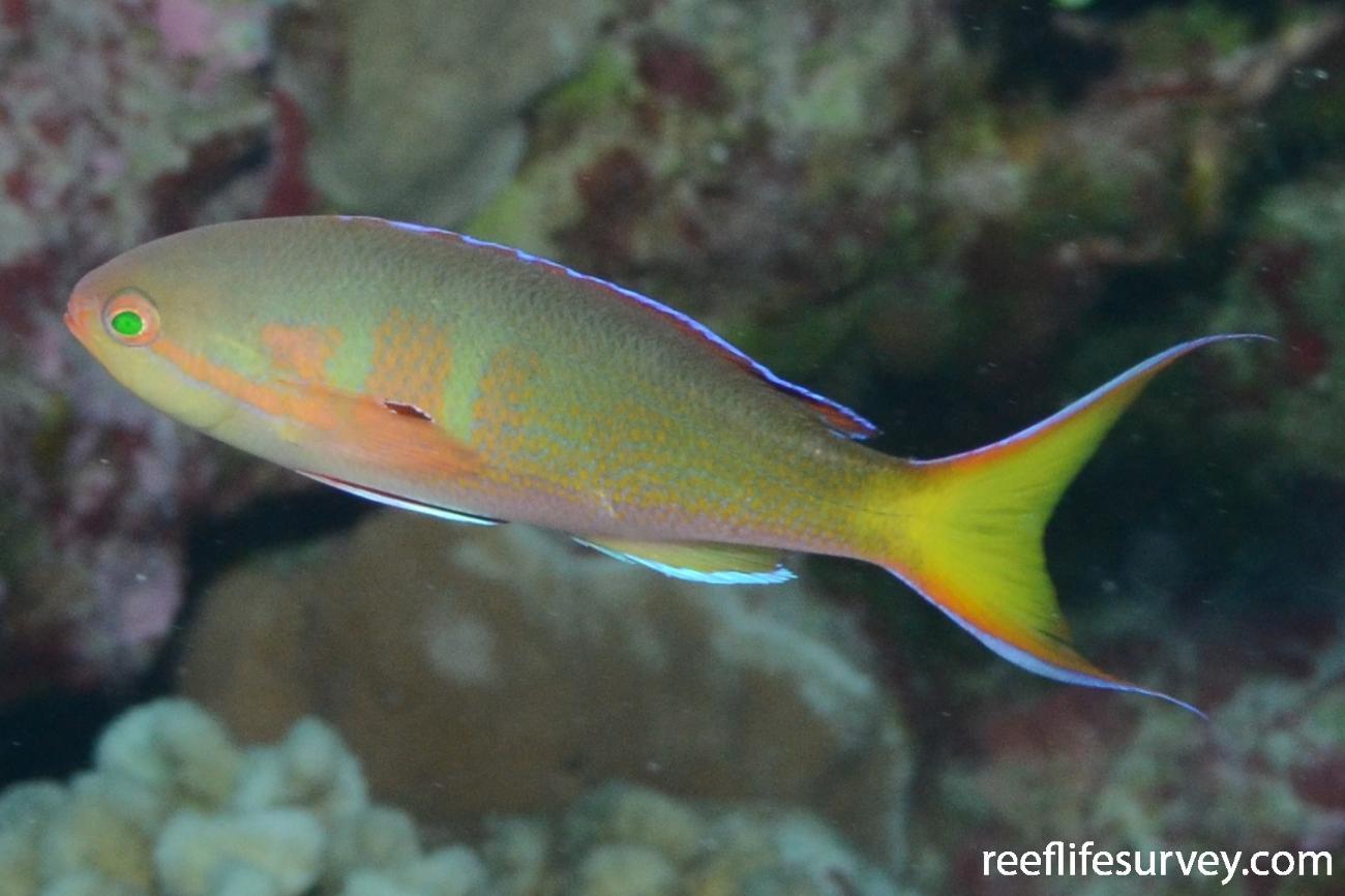 Pseudanthias olivaceus, Male, Iles Maria, French Polynesia,  Photo: Rick Stuart-Smith