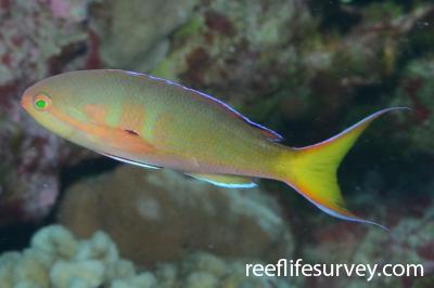 Pseudanthias olivaceus: Male, Iles Maria, French Polynesia,  Photo: Rick Stuart-Smith