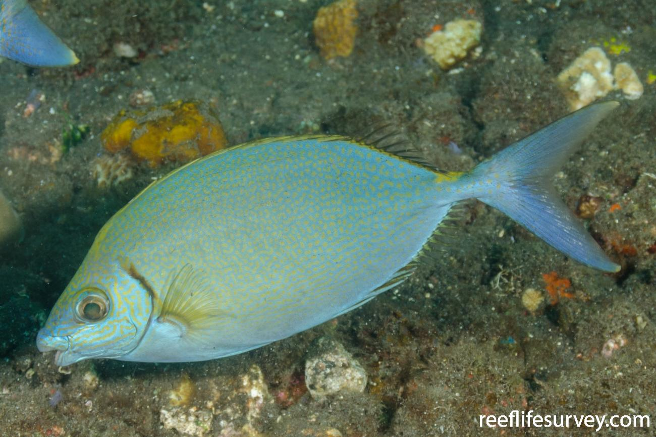 Siganus argenteus, Bali, Indonesia,  Photo: Ian Shaw
