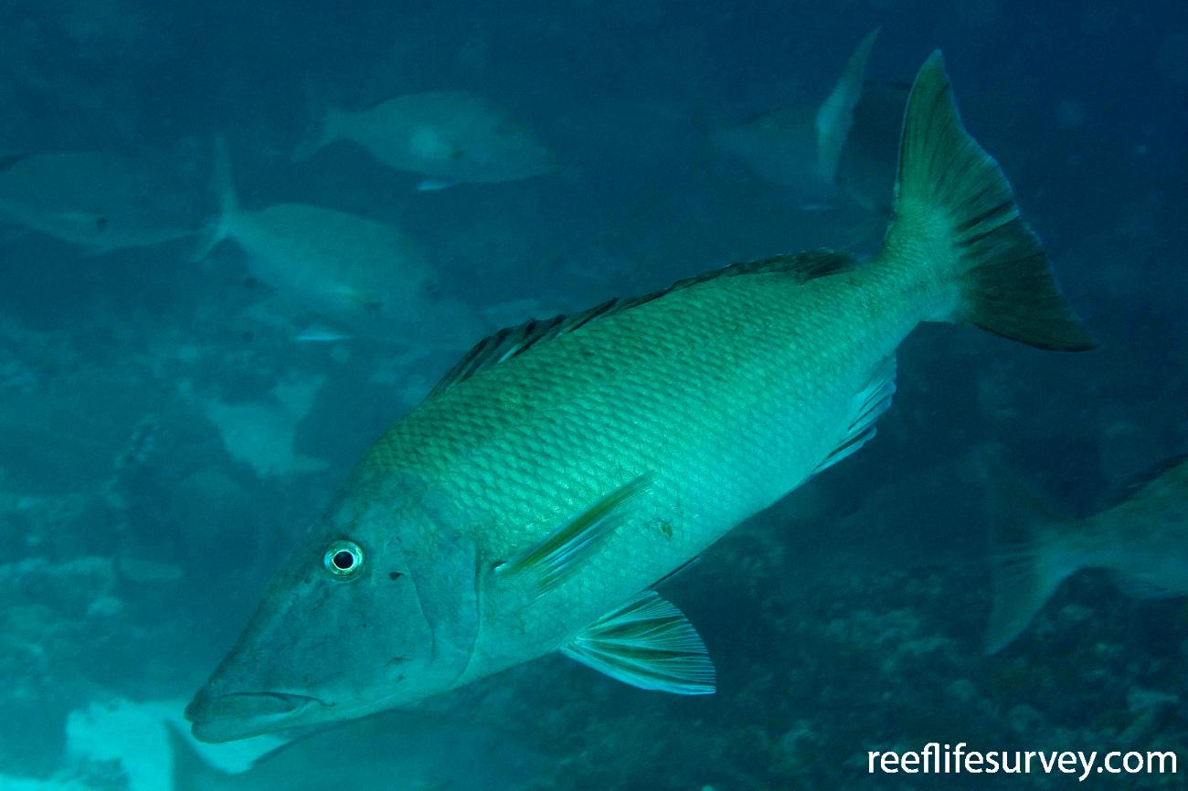 Lethrinus olivaceus, North WA, Australia,  Photo: Andrew Green