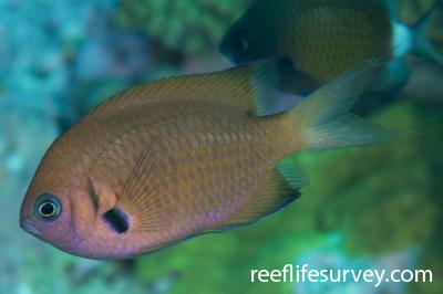 Chromis agilis:  Photo: Rick Stuart-Smith