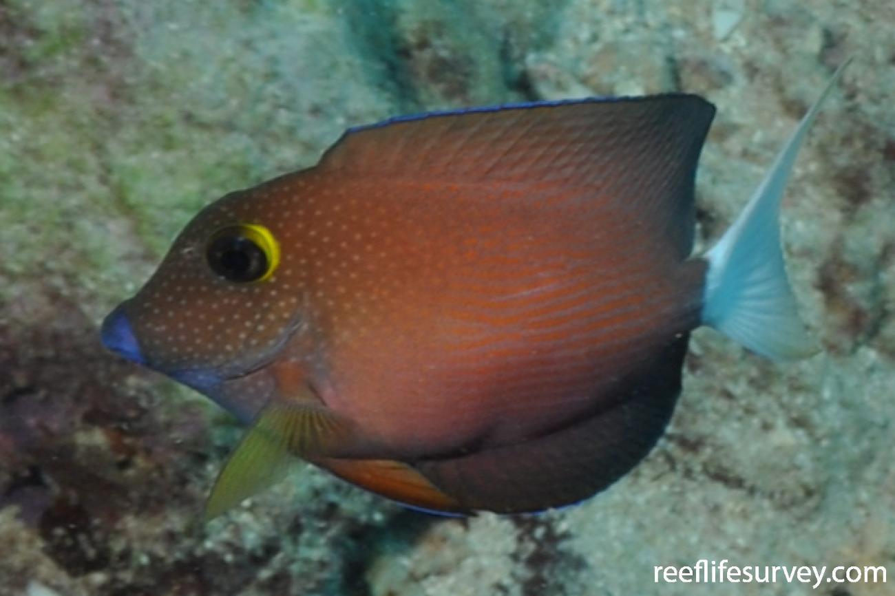 Ctenochaetus flavicauda, French Polynesia,  Photo: Rick Stuart-Smith