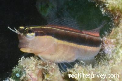 Ecsenius lineatus: Japan,  Photo: Graham Edgar