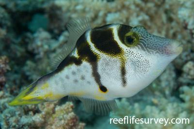 Paraluteres prionurus: Coral Sea, Australia,  Photo: Rick Stuart-Smith