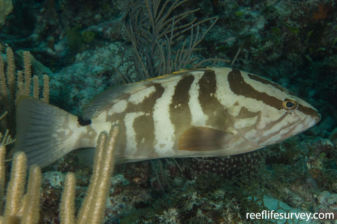 Epinephelus striatus, Belize,  Photo: Rick Stuart-Smith