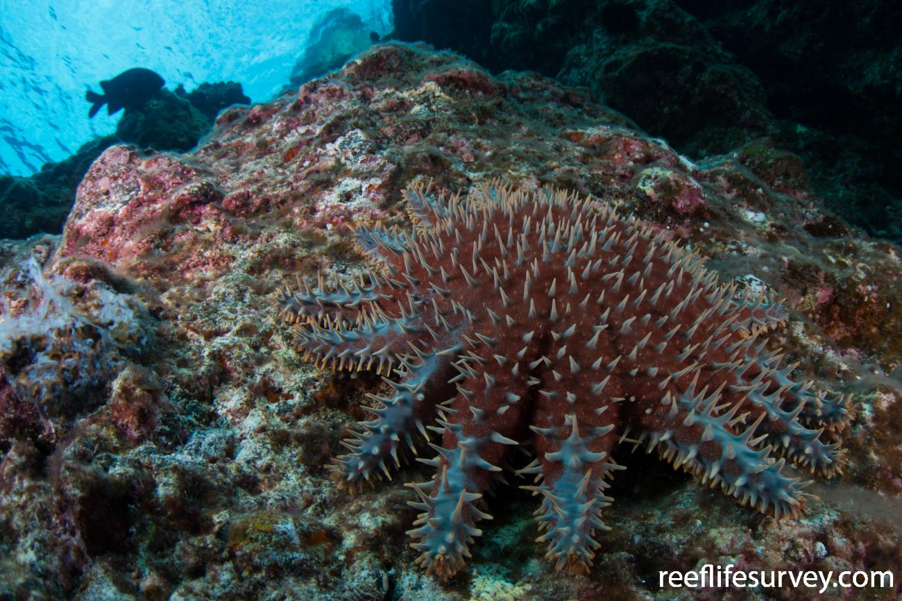 Acanthaster planci, Kermadec Islands, New Zealand,  Photo: Rick Stuart-Smith