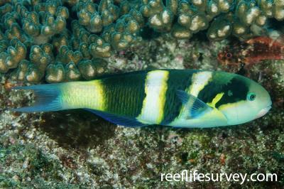 Thalassoma nigrofasciatum: Adult, NSW, Australia,  Photo: Ian Shaw