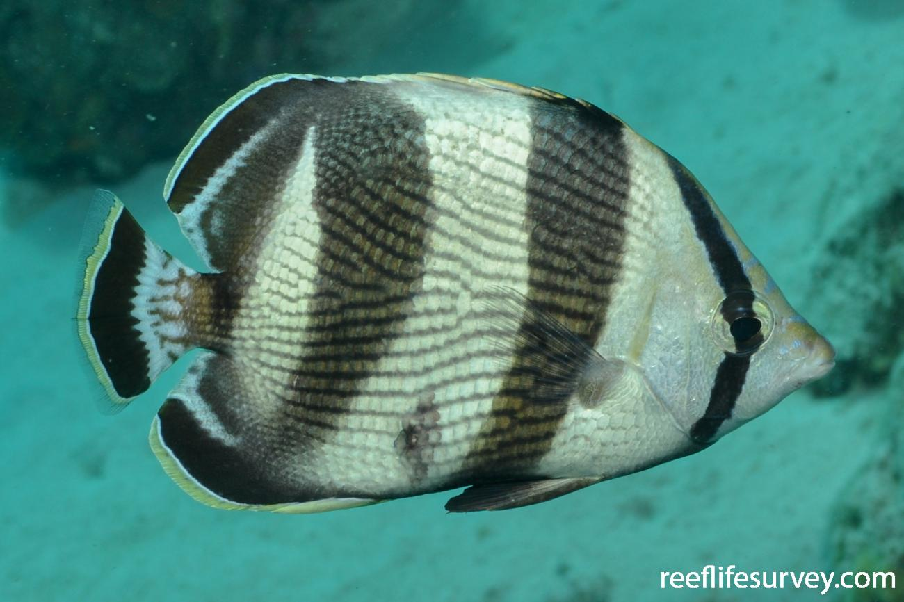 Chaetodon striatus, Adult, Bonaire,  Photo: Rick Stuart-Smith
