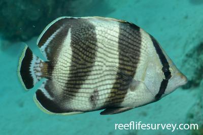 Chaetodon striatus: Adult, Bonaire,  Photo: Rick Stuart-Smith