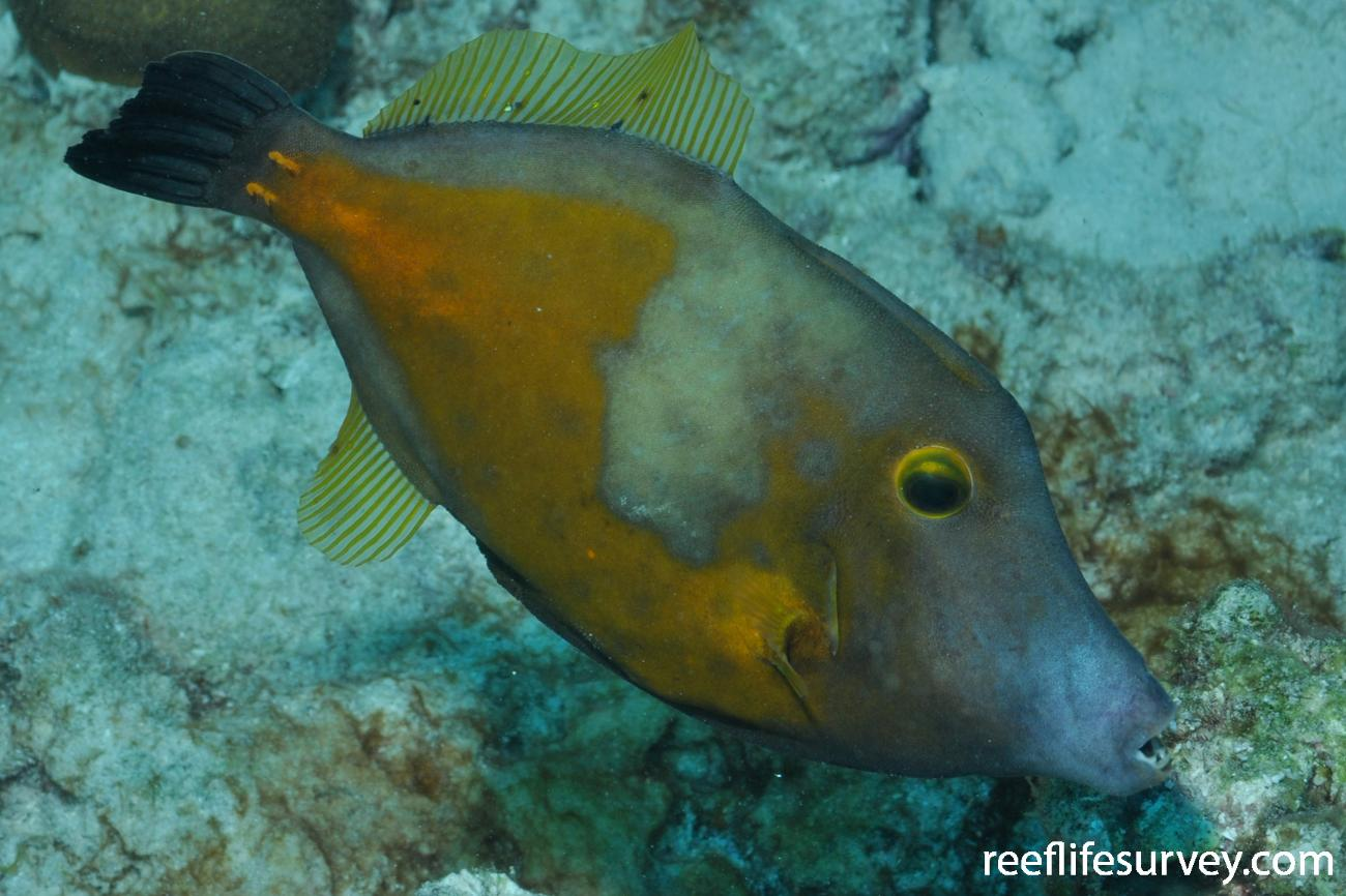 Cantherhines macrocerus, Bonaire,  Photo: Rick Stuart-Smith