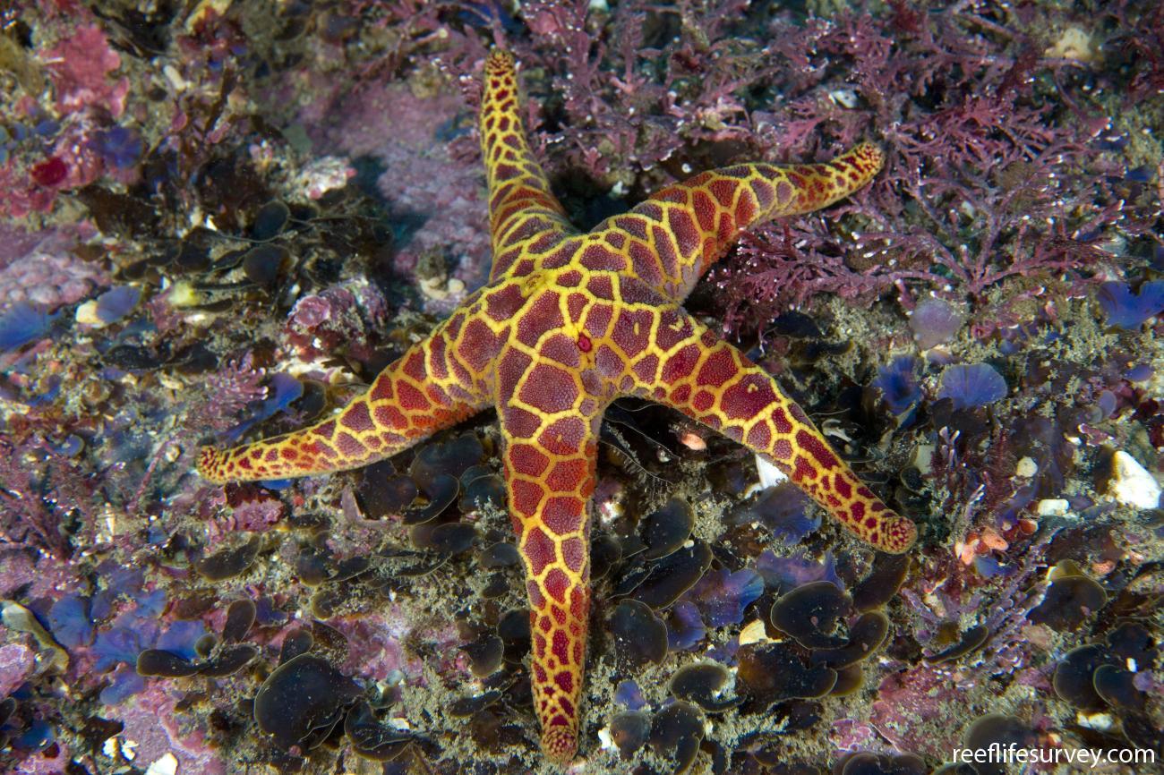 Plectaster decanus, Batemans Bay, NSW,  Photo: Andrew Green