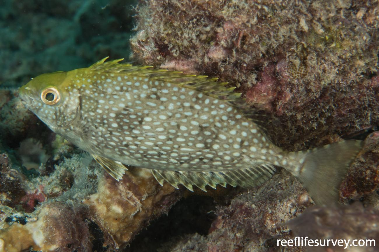Siganus fuscescens, QLD, Australia,  Photo: Rick Stuart-Smith