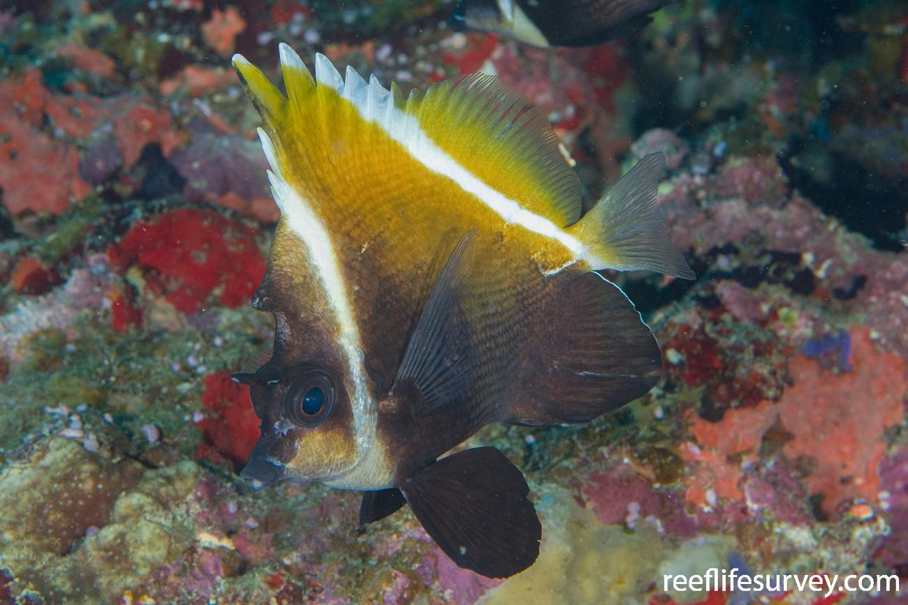 Heniochus varius, Naigani Is, Fiji,  Photo: Andrew Green
