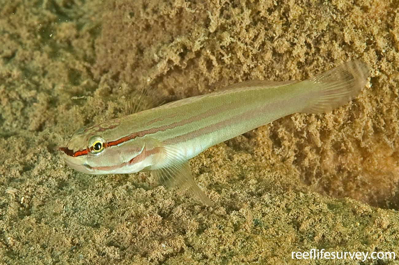 Amblygobius nocturnus, Lord Howe Island, NSW, Australia,  Photo: Ian Shaw