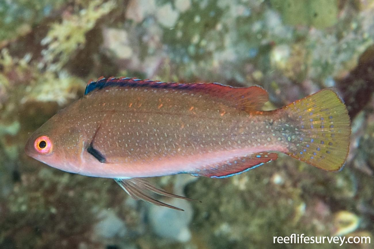 Cirrhilabrus punctatus, Female, NSW, Australia,  Photo: Ian Shaw