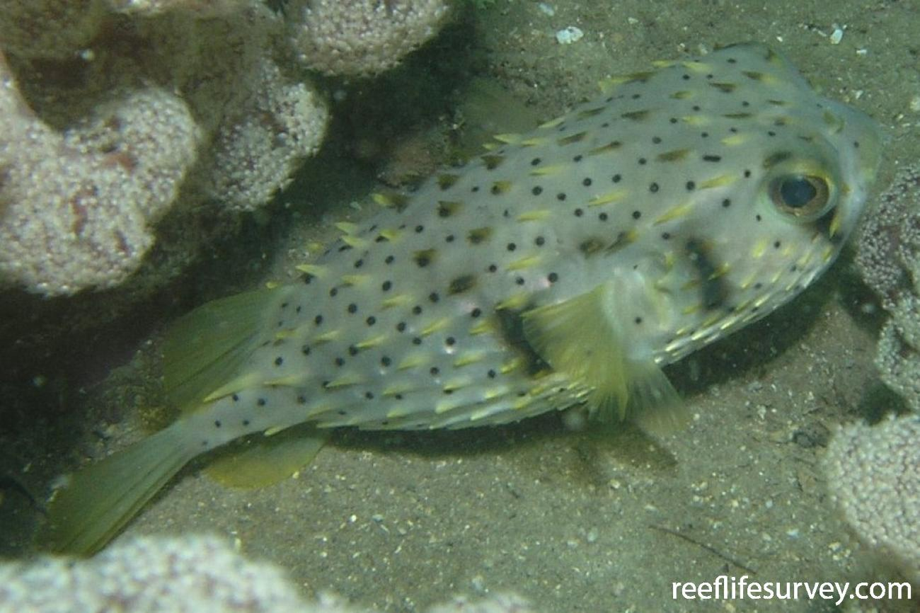 Dicotylichthys punctulatus, Port Stephens, NSW,  Photo: Tom Davis