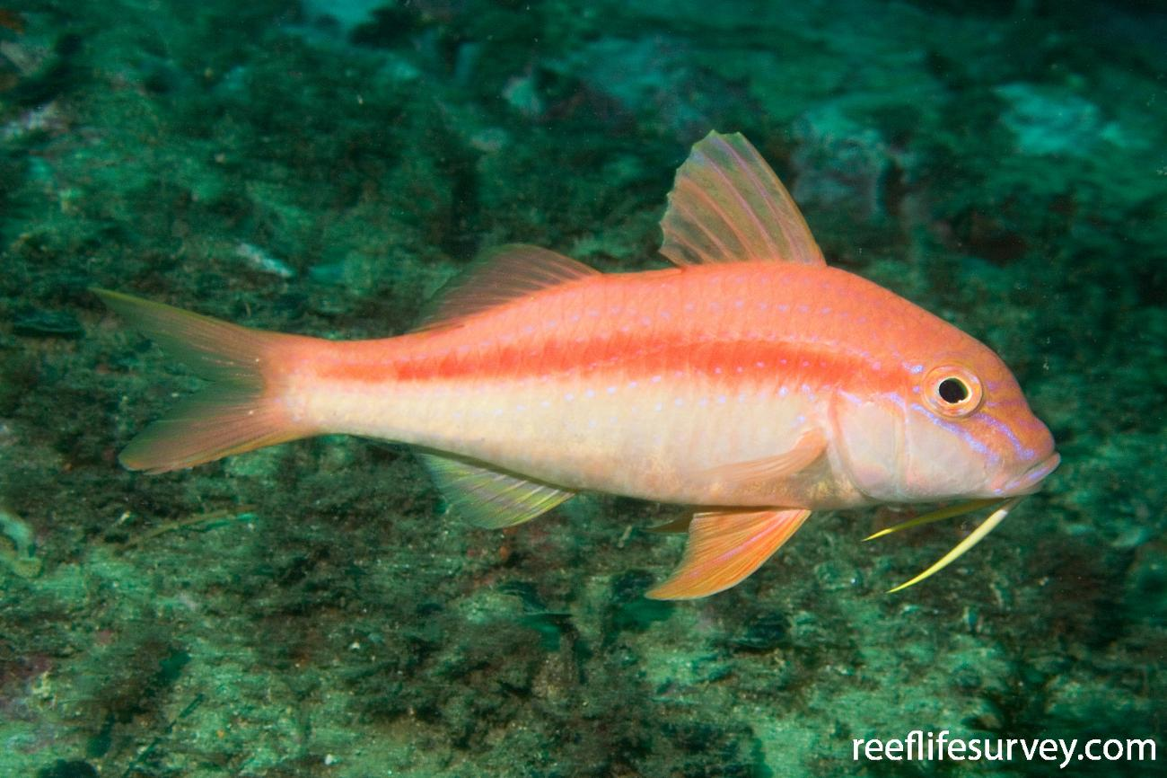 Upeneichthys lineatus, Sydney, NSW,  Photo: Andrew Green