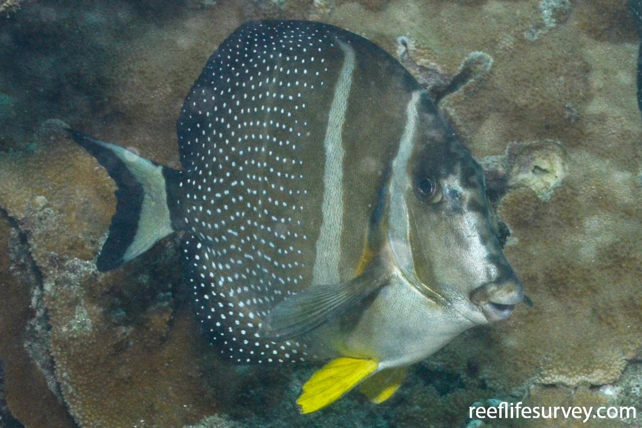 Acanthurus guttatus, Niue,  Photo: Graham Edgar