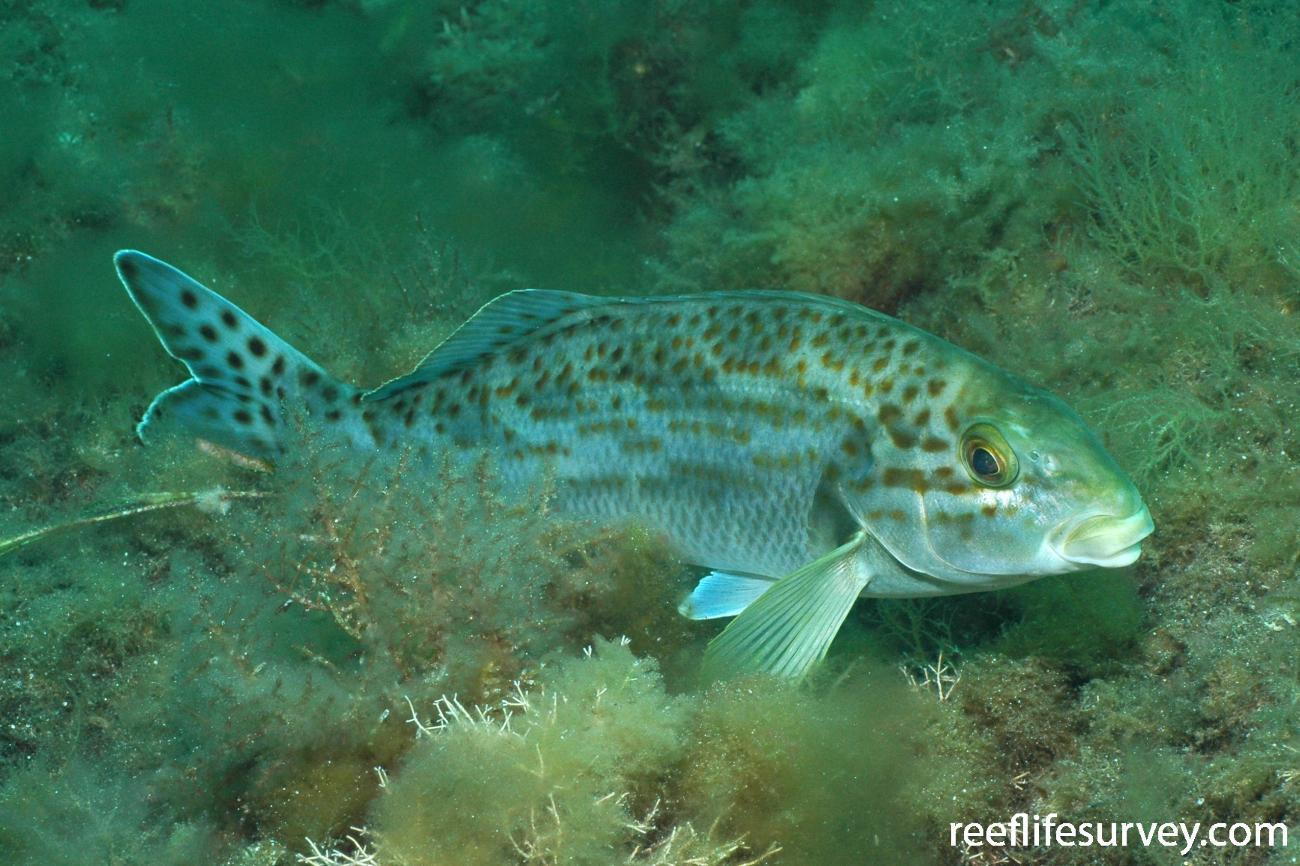 Dactylophora nigricans - Dusky Morwong | ReefLifeSurvey com