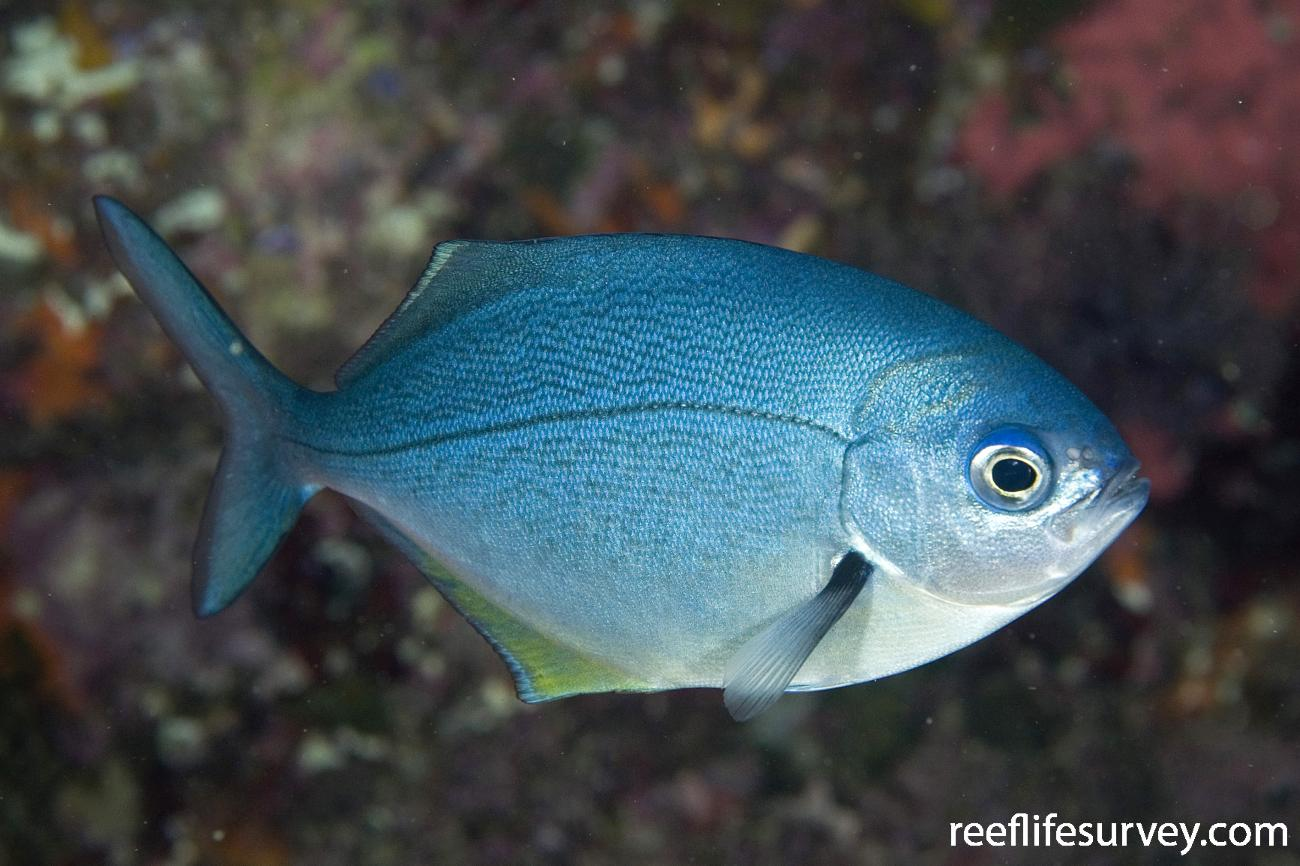 Scorpis violacea, Juvenile, Poor Knights Is, New Zealand,  Photo: Andrew Green