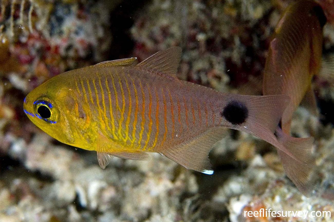 Taeniamia fucata, Adult, Raja Ampat, Indonesia,  Photo: Andrew Green