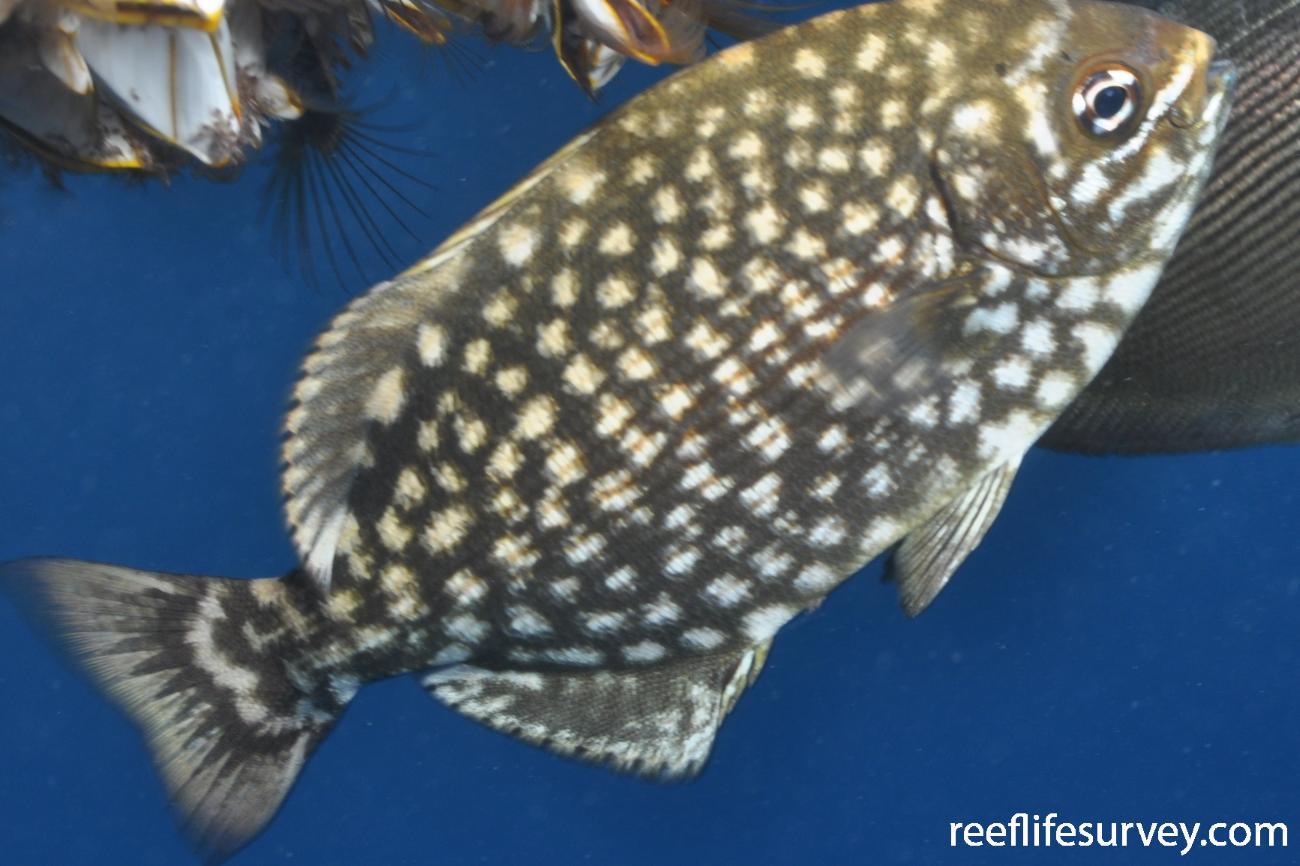 Kyphosus vaigiensis, Juvenile, Elizabeth Reef, NSW, Australia,  Photo: Graham Edgar