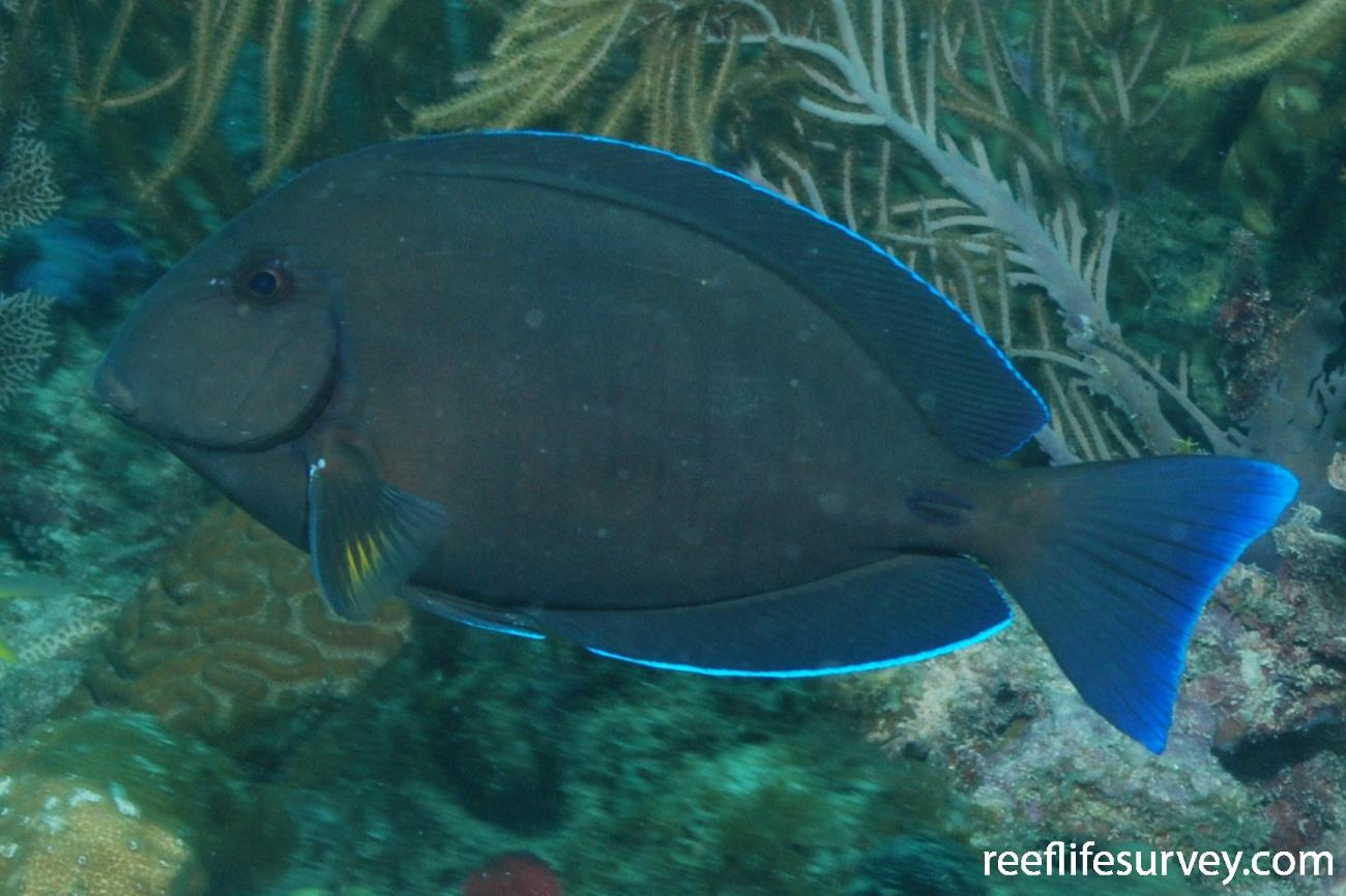 Acanthurus chirurgus, Florida Keys, USA,  Photo: Graham Edgar