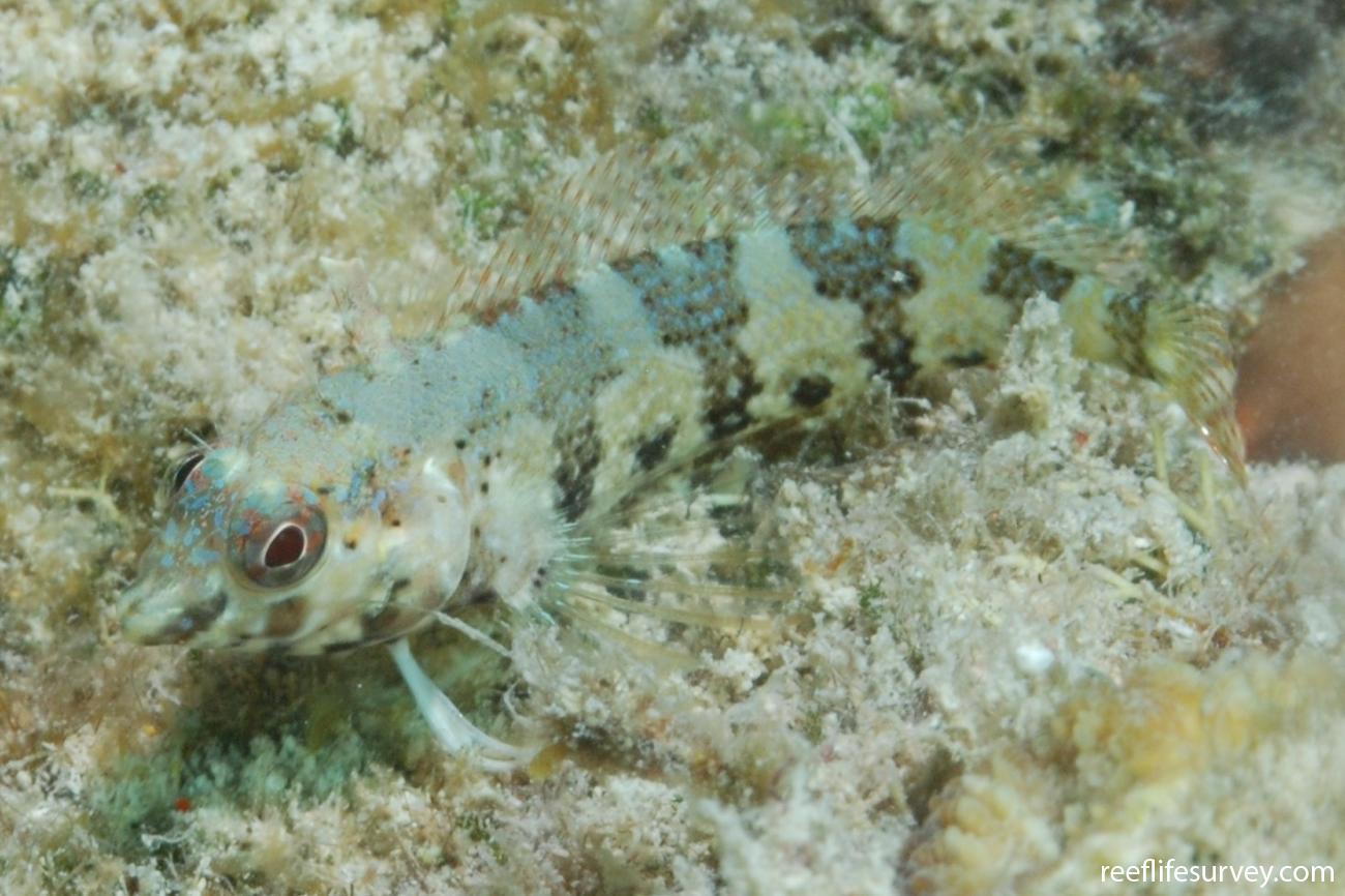 Malacoctenus triangulatus, Abrolhos Islands, Brazil,  Photo: Graham Edgar
