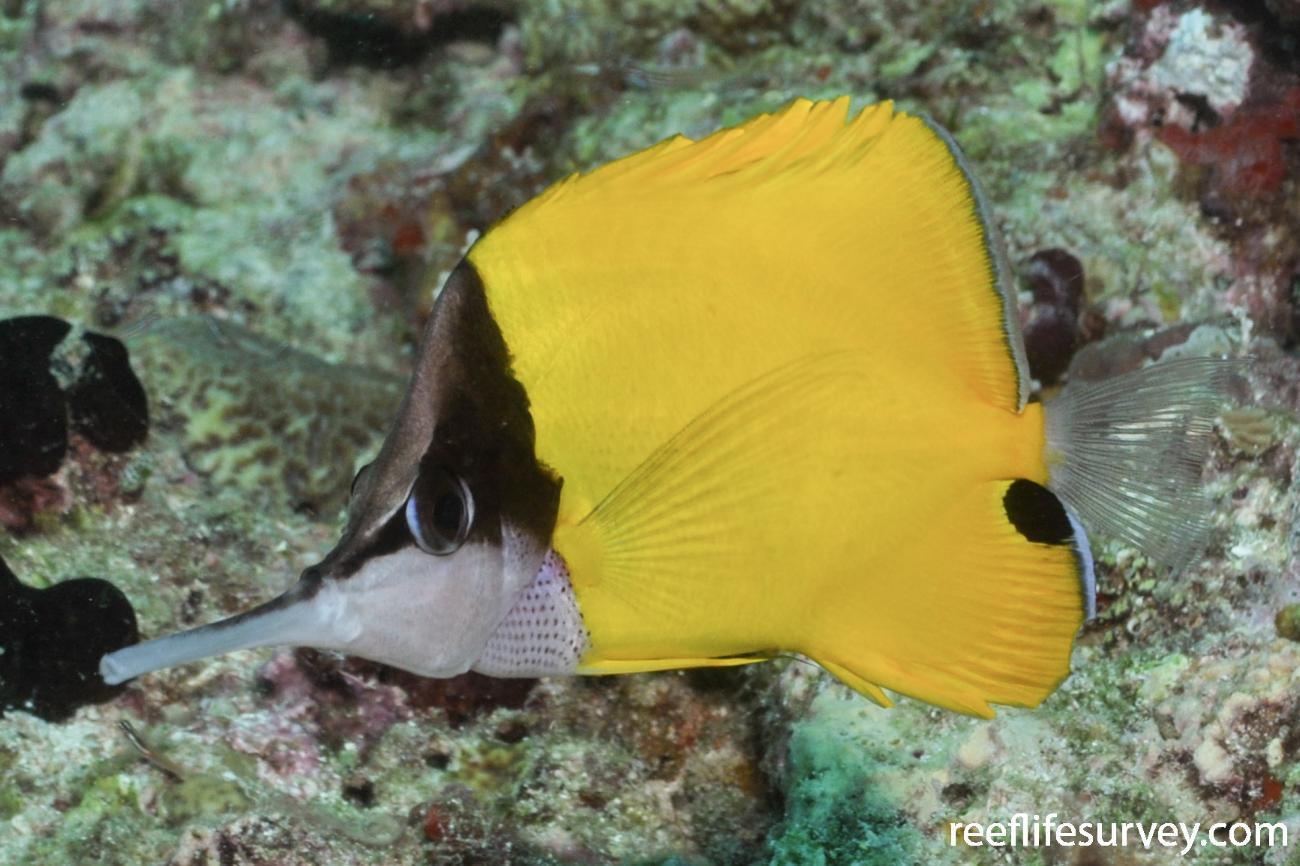 Forcipiger longirostris, Coral Sea, Australia,  Photo: Rick Stuart-Smith