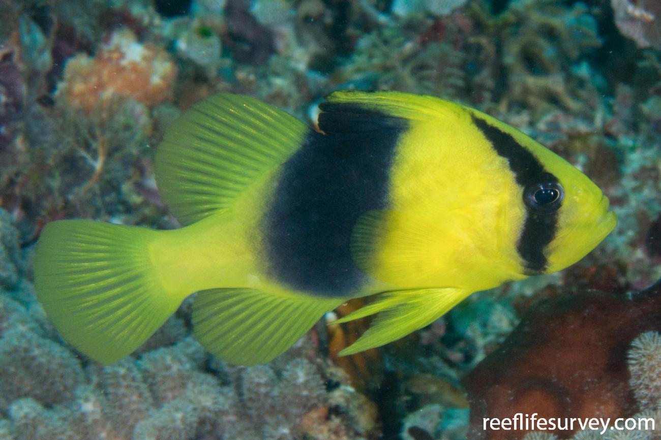 Diploprion bifasciatum, Adult.  Photo: Rick Stuart-Smith