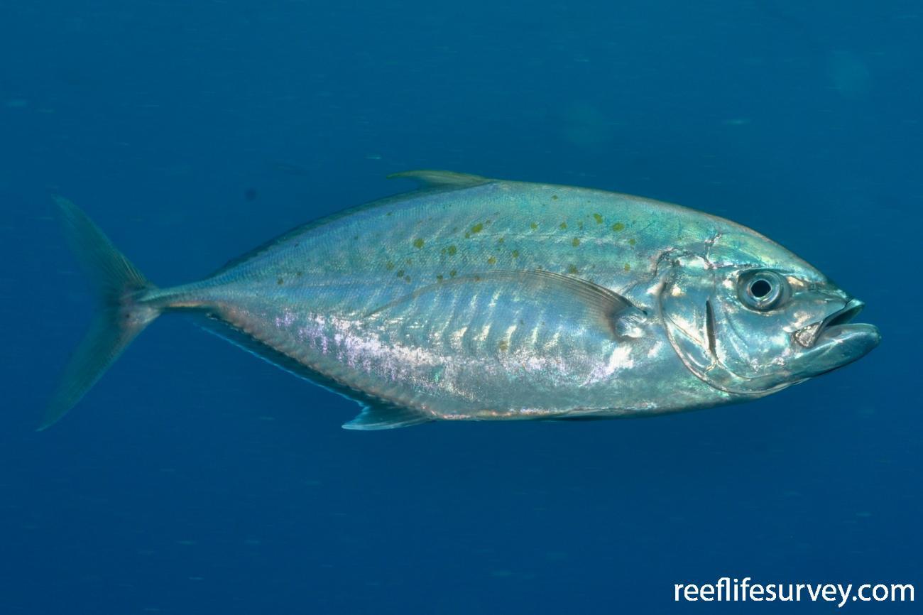 Carangoides plagiotaenia, Great Barrier Reef, Townsville, Australia,  Photo: Rick Stuart-Smith