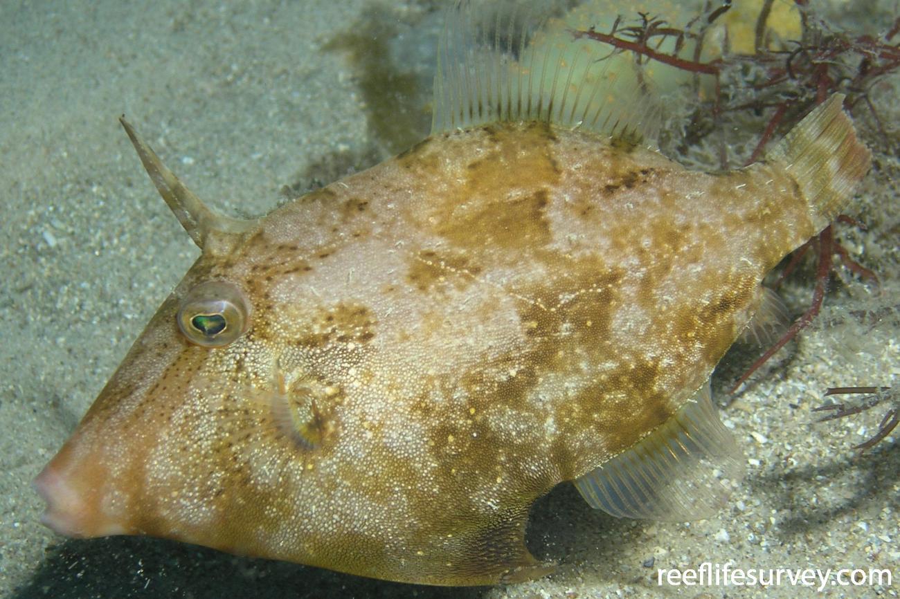 Scobinichthys granulatus, Port Stephens, NSW,  Photo: Tom Davis