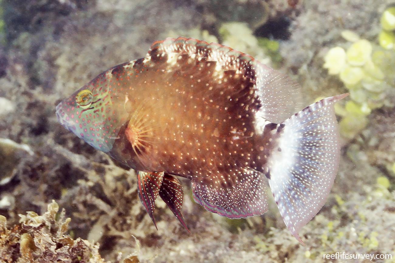 Cheilinus chlorourus, Juvenile, Great Barrier Reef, Australia,  Photo: Ian Shaw