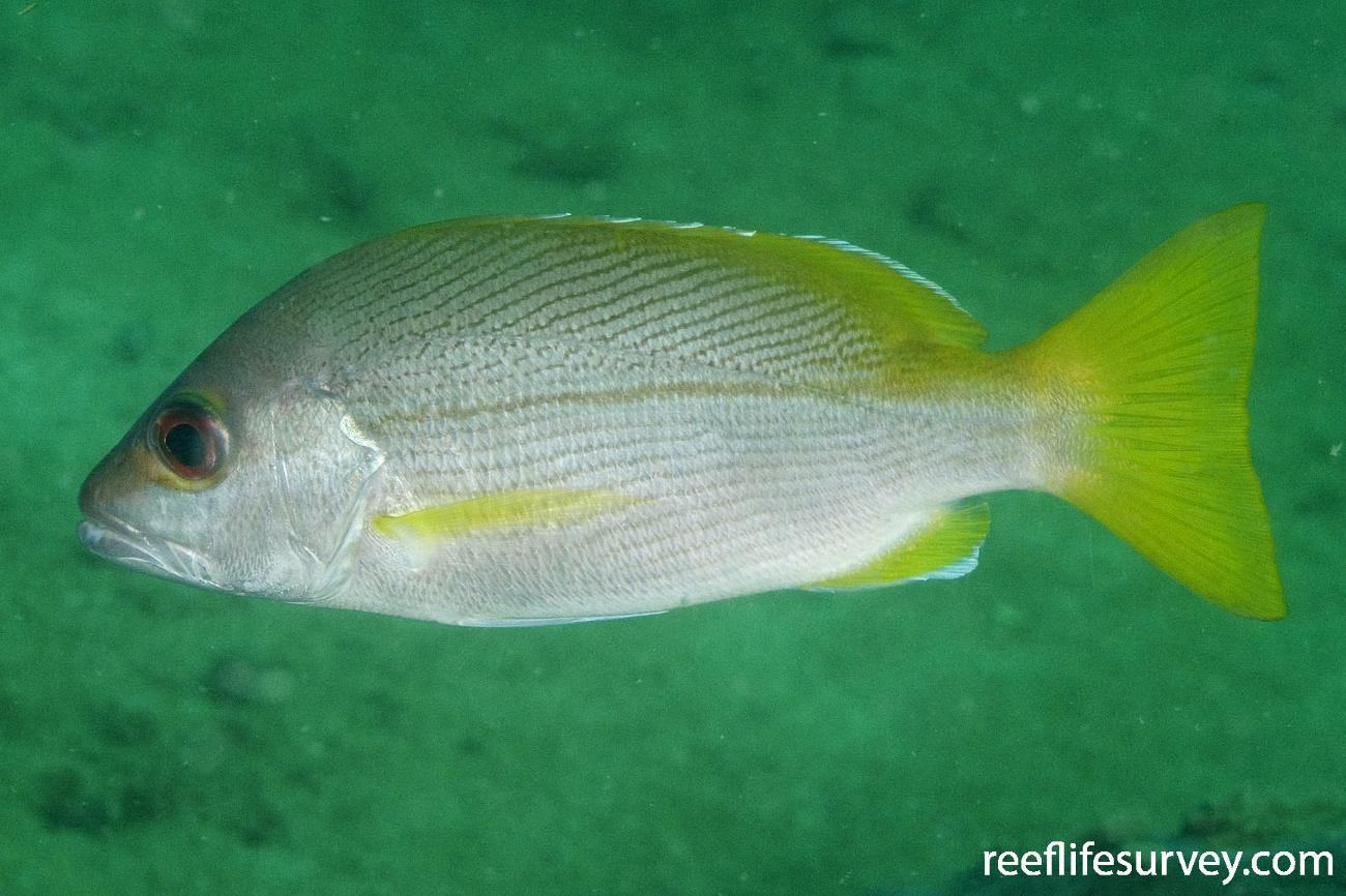 Lutjanus vitta, Gulf of Carpentaria, QLD,  Photo: Andrew Green